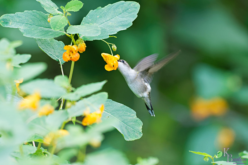 DSC_8460 the hummingbirds of Clove Lakes_DxO