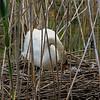 DSC_6451 swan's nest