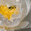 DSC_7799 pollenator