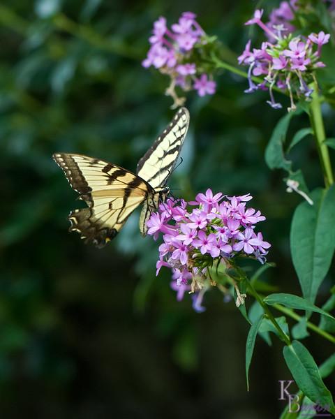 dsc_4518 Tiger swollowtail butterfly