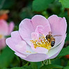 DSC_6164 honey bee