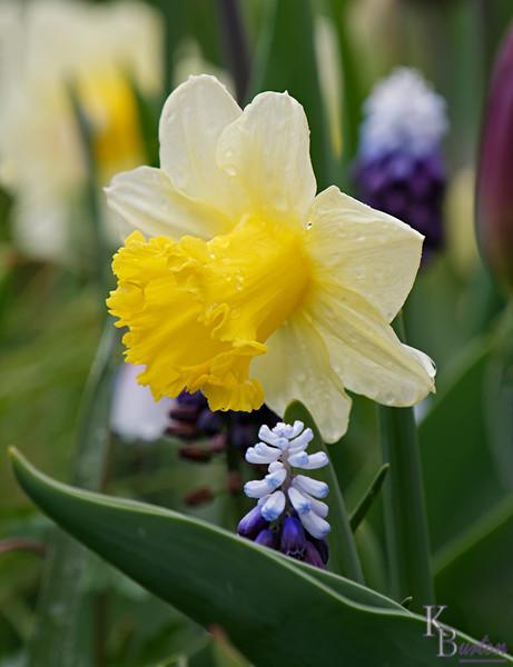 DSC_0177 daffodil