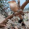 DSC_0748 Guira Cuckoo