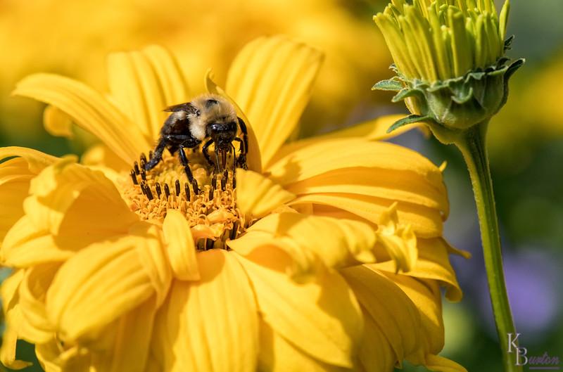 DSC_1207 honey bee