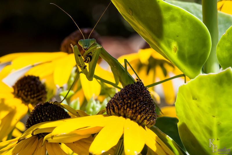 DSC_3069 praying mantis