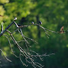 DSC_7593 swallows_DxO