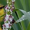 DSC_4207 foraging for nectar