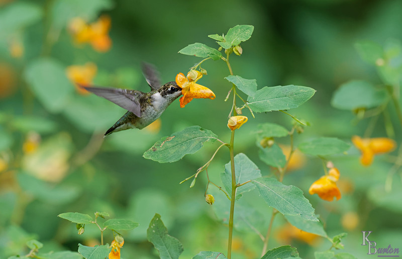DSC_8396 the hummingbirds of Clove Lakes_DxO