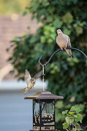 Getting excited, my bird feeders finally attracting more than just sparrows. The other day I photographed a mourning dove (probably this one) in the tree you see in the background. Today it ventured down to my bird feeder.  I'm going to get some nice shots this winter when it snows.