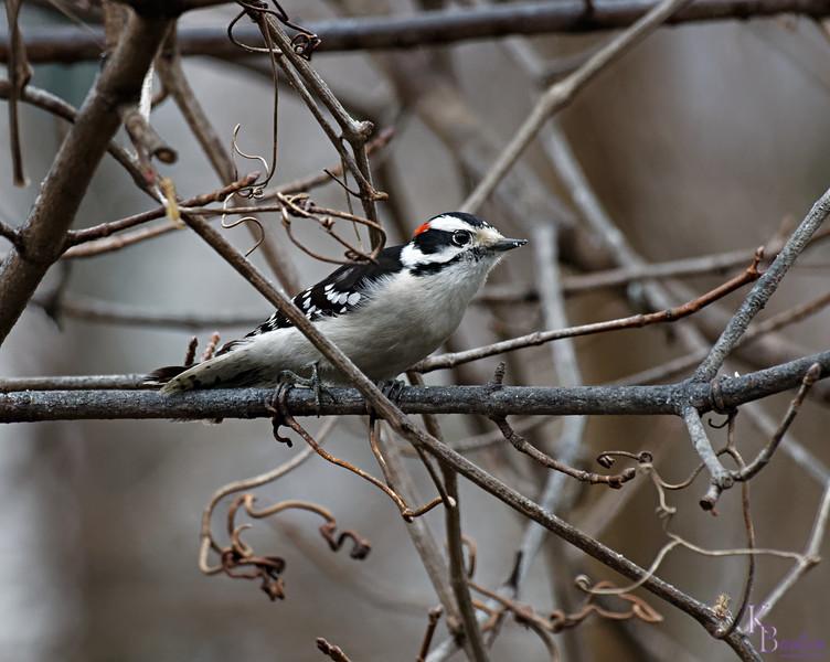 DSC_4920 downey woodpecker_DxO