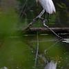 DSC_2942 great white egret_DxO
