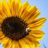 DSC_7317 sun flower