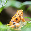 DSC_8721 golden poison dart frog