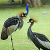DSC_8059 grey crowned cranes