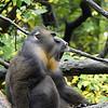 DSC_0796 baboon