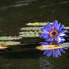 DSC_2982 waterlily