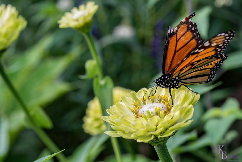 DSC_3204 monarch