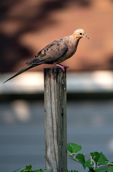 DSC_8211 morning dove