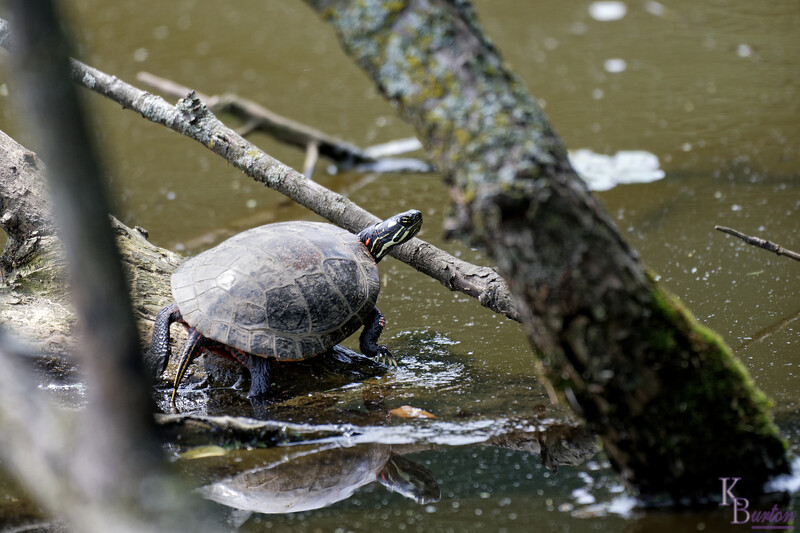 DSC_2594 painted turtle_DxO