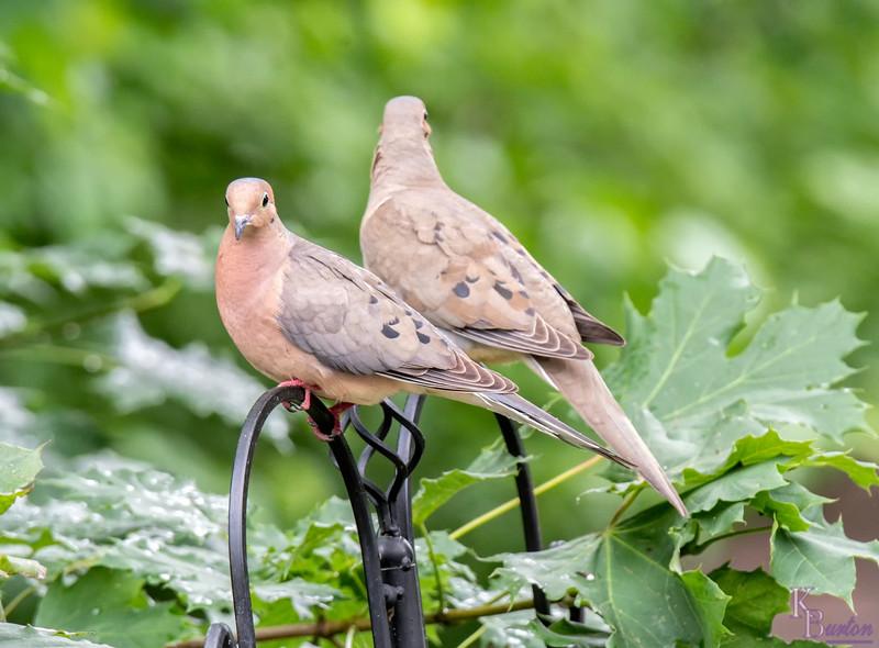 DSC_2811 morning doves
