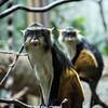 DSC_1373 Wolf's monkey