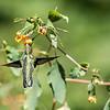 DSC_5151 hummingbird