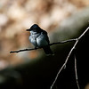 DSC_1395 kingbird_DxO