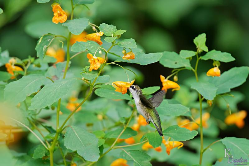 DSC_7772 the hummingbirds of Clove Lake_DxO