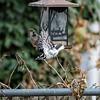 DSC_9799 backyard bird feeders