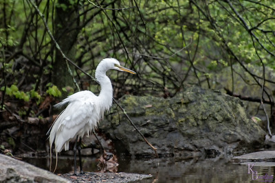DSC_5636 great white egret