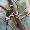DSC_0925 blue crowned motmot