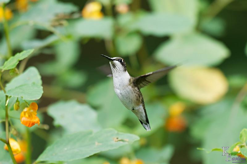 DSC_8297 the hummingbirds of Clove Lakes_DxO