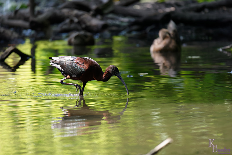 DSC_0119 scarlet ibis_DxO