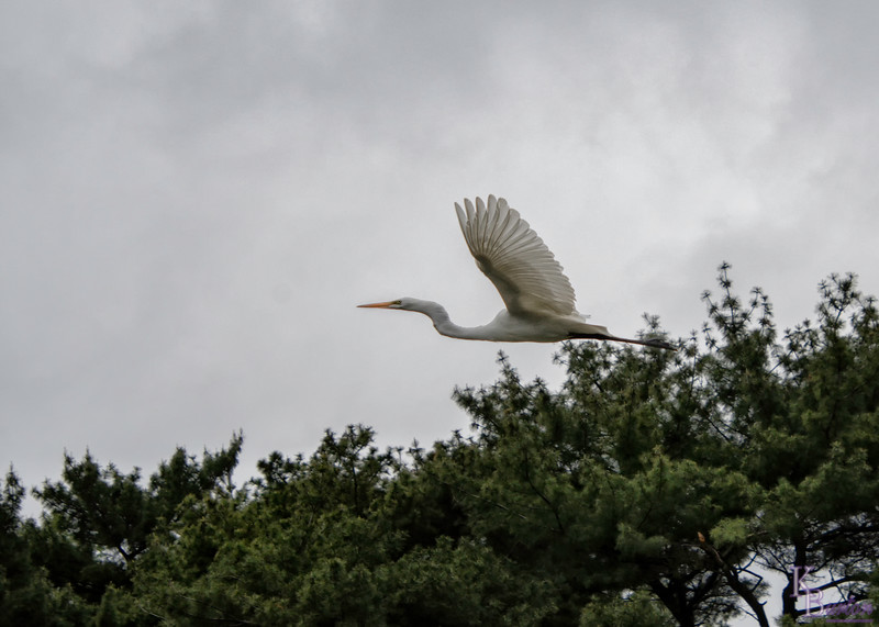 DSC_8058 soaring through the trees