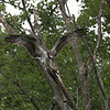 DSC_2768 osprey feeding-TS
