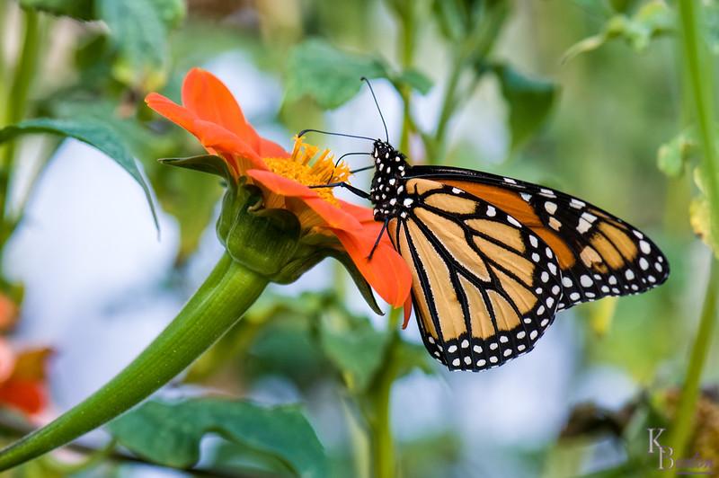 DSC_6408 monarch butterfly