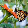 DSC_6408 monarch butterfly