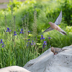 DSC_8752 Mourning doves