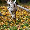 DSC_1010 giraffe_DxO