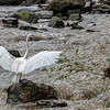 DSC_5889 great white egret