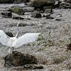 DSC_5889 great white egret
