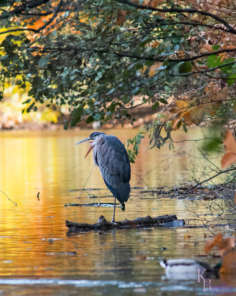 DSC_8714 heron resting on a log