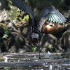 DSC_0946 scarlet ibis - TSt