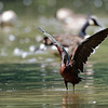 DSC_0760 scarlet ibis_DxO