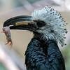 DSC_1072 white crested hornbill