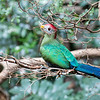 DSC_3739 red crested Turaco