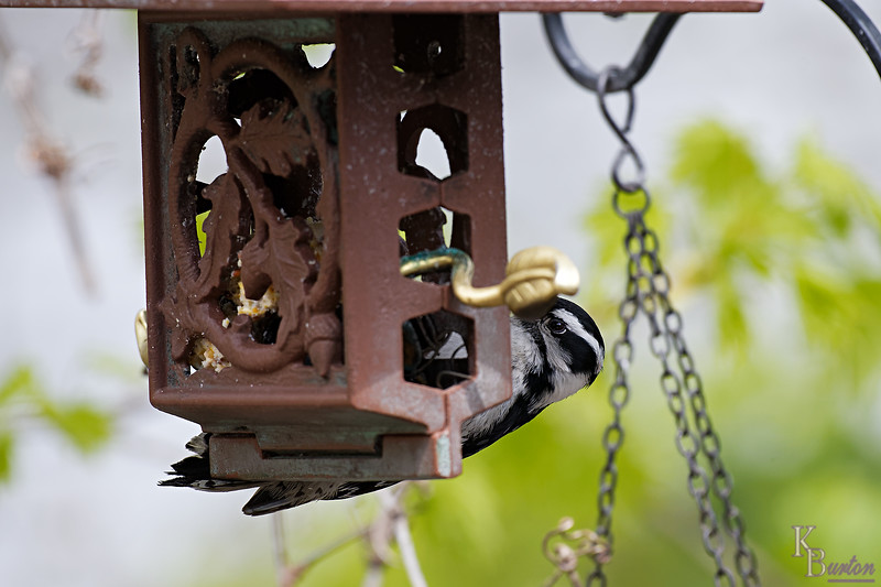 DSC_9307 downy woodpecker_DxO