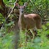 DSC_9142 deer me!_DxO
