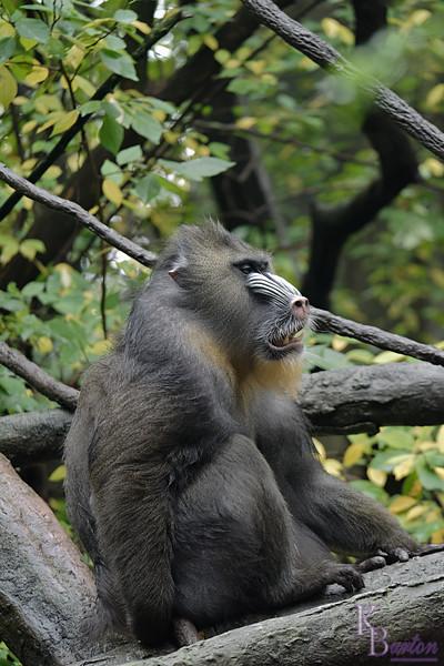 DSC_0807 baboon_DxO