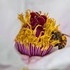 DSC_6589 honey bee